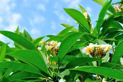 Frangipani tree under blue sky Royalty Free Stock Images
