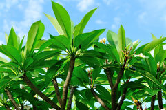 Frangipani tree under blue sky Royalty Free Stock Photography