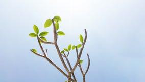Frangipani tree under the clear sky. Frangipani (plumeria) tree under the clear sky Stock Photos