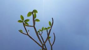 Frangipani tree under the clear sky. Frangipani (plumeria) tree under the clear blue sky Stock Photos