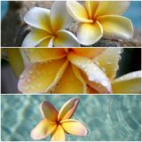 Frangipani Tritich Royalty Free Stock Photography