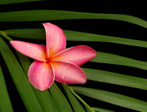 Frangipani tropical photo stock