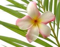 Frangipani tropical fotografía de archivo