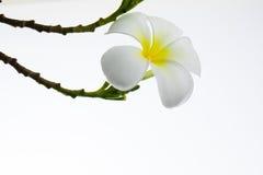 Frangipani tropical das flores Foto de Stock Royalty Free