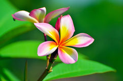 Plumeria tailandês Foto de Stock