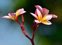 Plumeria tailandês Foto de Stock Royalty Free