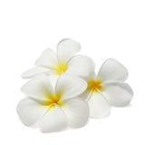 Frangipani tropical de fleurs d'isolement sur le blanc Photographie stock libre de droits