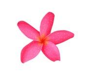 Frangipani tropical de fleurs (plumeria) Photographie stock libre de droits