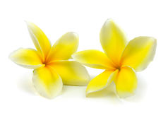 Frangipani tropical de fleurs (plumeria) d'isolement sur le backgro blanc Image stock