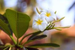 Frangipani tropical de la flor, Tailandia, isla de Koh Samui Imágenes de archivo libres de regalías
