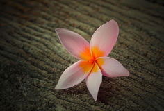Frangipani tropical de las flores en la madera Imagenes de archivo