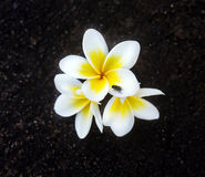 Frangipani tropical de las flores (plumeria) Fotos de archivo