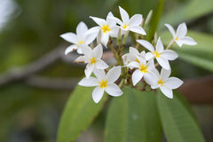 Frangipani tropical flower. Close-up Royalty Free Stock Photography