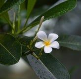 Frangipani Tropical Flower Royalty Free Stock Photos