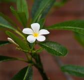 Frangipani Tropical Flower Stock Image