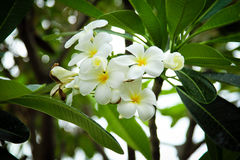 Frangipani tropical flower Stock Photo