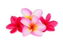Frangipani tropical flower, plumeria, Lanthom, Leelawadee flower. Isolated white background Stock Image