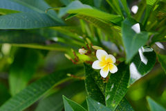 Frangipani tropical flower Royalty Free Stock Image
