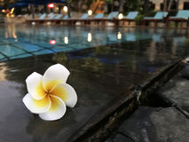 Frangipani. Tropical flower White plumeria flower fresh on the edge of the swimming pool. Ideal for copy space and text Royalty Free Stock Photography