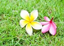 Frangipani tropical flowers. Royalty Free Stock Photos