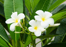 Frangipani tropical flowers. Frangipani flowers on a tree in the garden Royalty Free Stock Photography