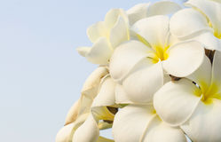 Frangipani tropical flowers. Group of Frangipani flowers blooming Stock Photo