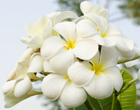 Frangipani tropical flowers. Group of Frangipani flowers blooming Stock Photography