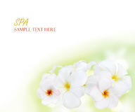 Frangipani tropical flowers background Royalty Free Stock Photography
