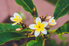 Frangipani tropical flowers from deciduous tree, plumeria Royalty Free Stock Image