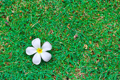 Frangipani tropical flowers on green grass. Royalty Free Stock Image