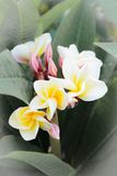 Frangipani tropical flowers, green lefs, nature Royalty Free Stock Photo