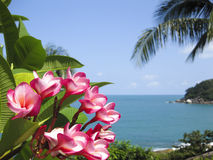 Frangipani Tropical Flowers Koh Samui Tropical Beach Thailand Stock Image