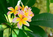 Frangipani tropical flowers Royalty Free Stock Photo