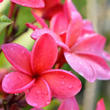 Frangipani tropical flowers Stock Photo