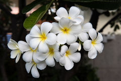 Frangipani tropical flowers tree Royalty Free Stock Images