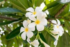 Frangipani tropical flowers. White plumeria on the plumeria tree, Frangipani tropical flowers Stock Images