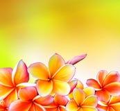 Frangipani Tropical Spa λουλούδι. Σχέδιο συνόρων Plumeria Στοκ φωτογραφία με δικαίωμα ελεύθερης χρήσης