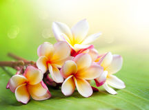 Frangipani Tropical Spa Flower. Plumeria. Shallow DOF royalty free stock image