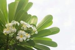 Frangipani Tropical Spa Flower. Royalty Free Stock Photos