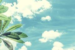Frangipani, tropical tree plant in garden, temple tree, lantom or leelawadee tree, plumeria. Tropical Bali island Stock Photos