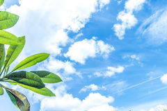 Frangipani, tropical tree plant in garden, temple tree, lantom or leelawadee tree, plumeria. Tropical Bali island Stock Photo