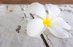 Frangipani tropicale dei fiori Immagine Stock