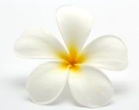 Frangipani tropicale dei fiori (plumeria) Immagini Stock Libere da Diritti