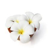 Frangipani tropicale dei fiori su bianco Fotografie Stock