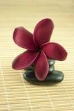 Frangipani tropicale sulla pietra nera Fotografia Stock Libera da Diritti