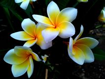 Frangipani twilight. Beautiful and fragrant frangipani in the evening stock image