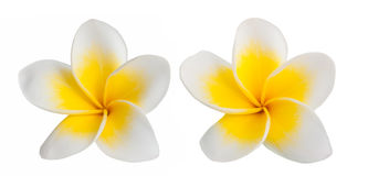 Frangipani. Two Frangipani flowers isolated on white background stock photos