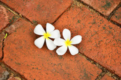 Frangipani. Two frangipani on red brick Royalty Free Stock Photography