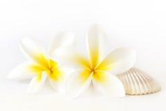 Frangipani und Seashell Lizenzfreie Stockfotos