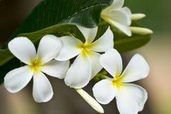 Frangipani van bloemen Stock Foto's
